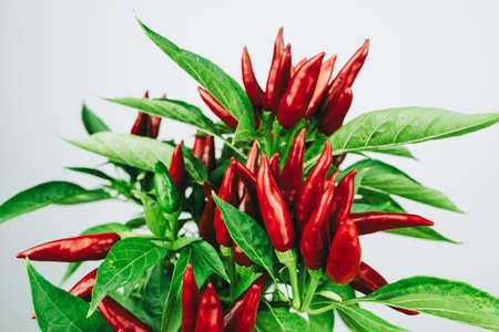 Photo pour Chili pepper saltillo (Capsicum annum) plant, with lots of chilis on it. Ripe red hot chili peppers on a plant. White background. Close up photo. - image libre de droit