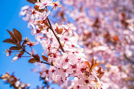 Photo pour Pink flowers of a blooming Prunus serrulata or cherry blossom tree. Blue sky in the background. Close-up photo. - image libre de droit