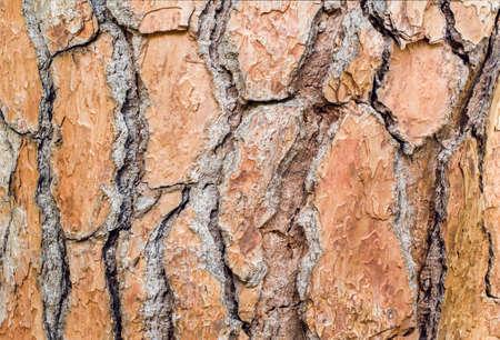 Foto de Large beautiful brown pine bark. Close-up. Texture - Imagen libre de derechos