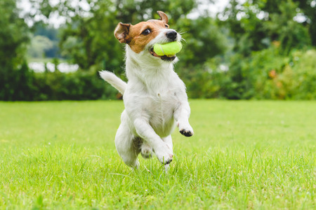 Foto de Funny dog ??playing with tennis ball toy on lawn - Imagen libre de derechos