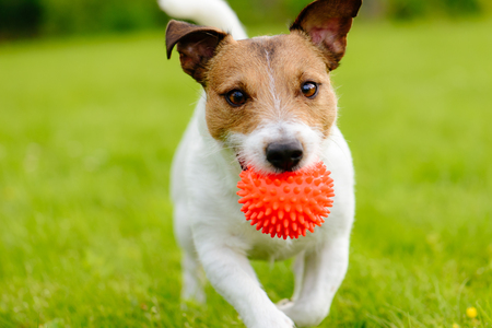 Foto de Close up of a dog running and playing fetch with an orange ball toy - Imagen libre de derechos