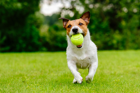 Foto de Happy pet dog playing with ball on green grass lawn - Imagen libre de derechos