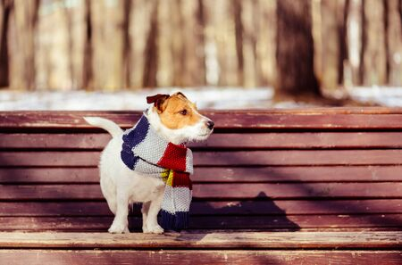 Photo pour At warm sunny winter day dog wearing knitted scarf on bench in park - image libre de droit