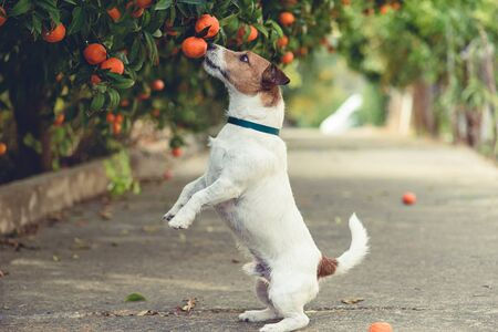 Photo for Dog fond of tangerines trying to steal low hanging fruit from tree branch - Royalty Free Image