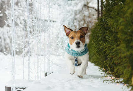 Photo for Dog walking around backyard decorated for winter holiday season with LED lamps garland - Royalty Free Image