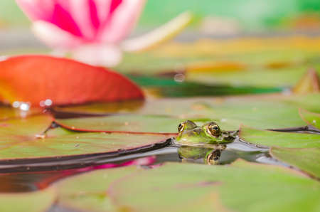 Photo pour Frog. The frog looks out of water in a pond near a lily flower. Beautiful nature - image libre de droit