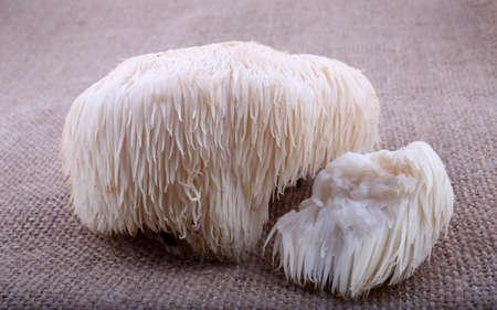 Photo pour Hericium erinaceus mushroom (monkey head mushroom, bearded tooth fungus, bearded hedgehog mushroom, pom pom, lion's mane mushroom) - image libre de droit