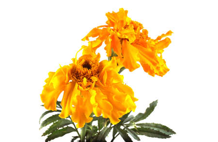 Photo for Growing yellow marigolds on white background - Royalty Free Image