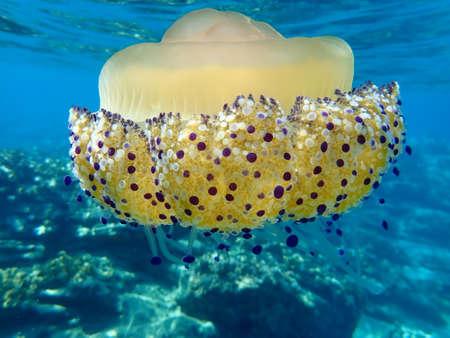 Photo pour Mediterranean jellyfish, Mediterranean jelly or fried egg jellyfish (Cotylorhiza tuberculata), Aegean Sea, Halkidiki - image libre de droit