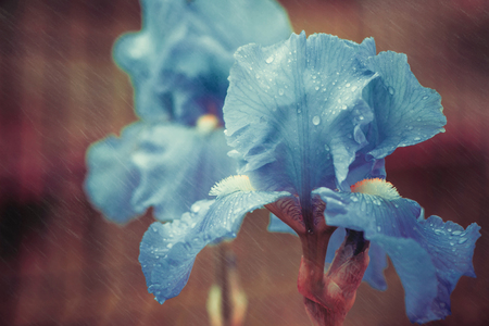 Photo for colorful iris flower with rainy drops on leafs - Royalty Free Image