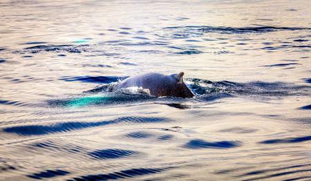 Humpback whale in the Skjalfandi Bay in Northern Iceland