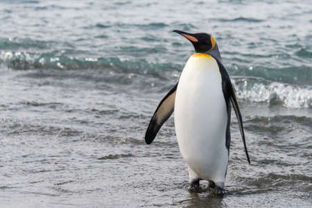 Photo pour King penguin on beach - image libre de droit