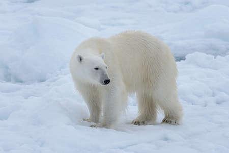 Photo pour Wild polar bear on pack ice in Arctic sea close up - image libre de droit