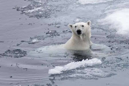 Photo pour Polar bear (Ursus maritimus) swimming in Arctic sea close up - image libre de droit