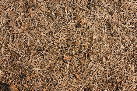Dry pine needles on the ground closeup view natural background