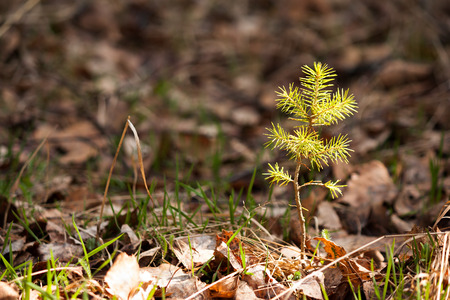 Photo pour Lonely young pine sapling tree sprout in spring forest under sunlight under closeup view - image libre de droit