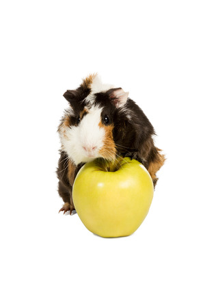 Black white and brown guinea pig with tufted front paws standing on a green apple isolated on a white backgroundの写真素材