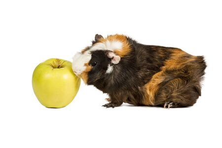 Guinea pig went to the green apple and is about to eat isolated on a white backgroundの写真素材