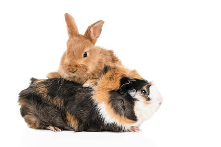Beautiful redheaded rabbit climbed a multicolored guinea pig isolated on a white background