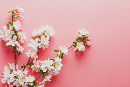 Foto de Sakura blooming, spring flowers on a pink background with space for a greeting message. The concept of spring and mother's day. Beautiful delicate pink cherry flowers in springtime. View from above - Imagen libre de derechos