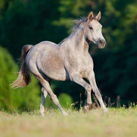 Arabian gray horse running in forest