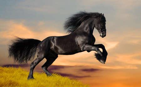 Black Friesian horse in sunset