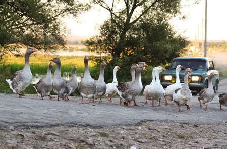 domestic geese crossing the road in the village and car