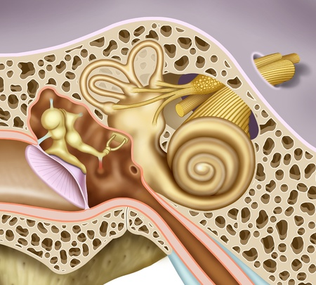 schematic illustration of the inner and middle ear, in the case of detailed, eardrum, ossicles, oval window of the cochlea, vestibular and auditory nerves nerves