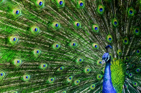 Peacock with beautiful multicolored feathers