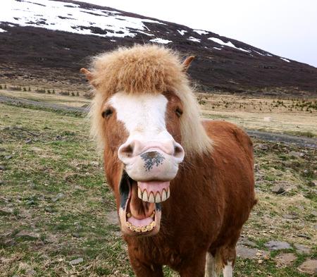 Funny portrait of Icelandic horse