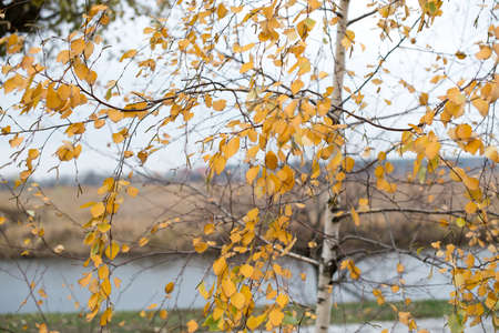 Autumn birches in the morning by the river. Birch with golden yellow foliageの素材 [FY310102273788]
