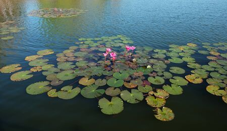 Photo pour The water surface is covered with leaves and lotus flowers. Lotus flower in a pond. - image libre de droit