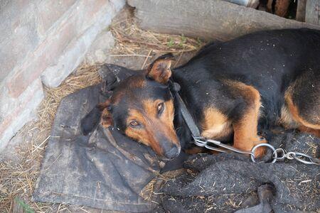Foto de A small dog lies on dirty rags. Dog on a chain. - Imagen libre de derechos