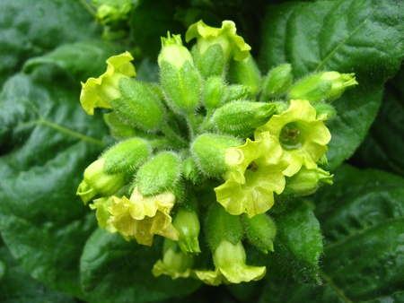 Photo pour Magnificent and beautiful flowers of tobacco - image libre de droit