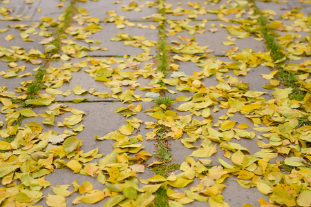 dry yellow leaves lie on the pavement tiles