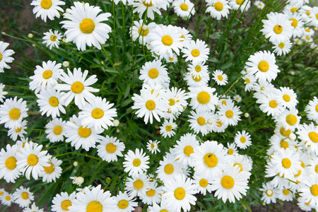 Photo for many blooming white daisies in the meadow. View from above. - Royalty Free Image