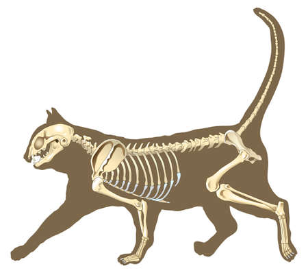 skeleton of cat section with bones x ray