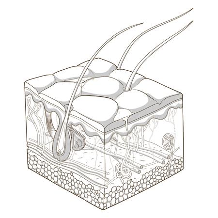 Illustration pour Slice of skin structure medical science educational vector illustration - image libre de droit