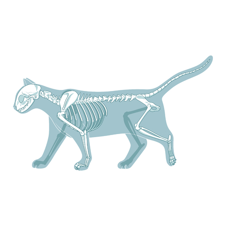 Foto de Cat skeleton veterinary vector illustration, cat osteology, bones - Imagen libre de derechos