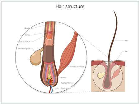 Hair structure medical educational science vector illustration. Hair anatomy