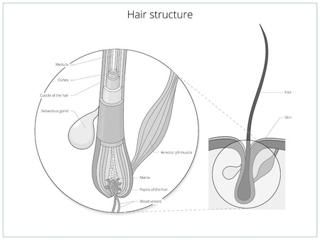 Illustration pour Hair structure medical educational science vector illustration. Hair anatomy - image libre de droit