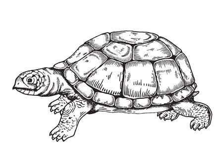 Illustration pour Turtle engraving style. - image libre de droit