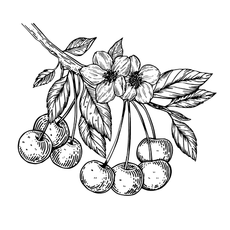 Illustration for Cherry branch engraving vector illustration - Royalty Free Image
