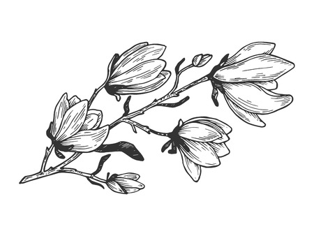Illustration pour Magnolia branch engraving vector illustration. Scratch board style imitation. Hand drawn image. - image libre de droit