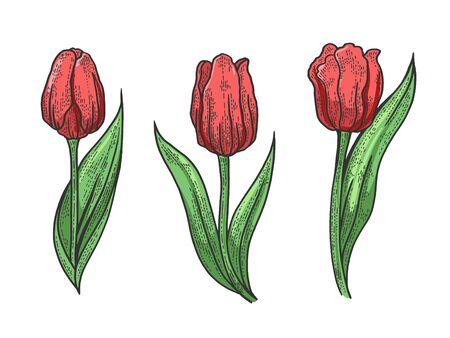 Illustration pour Tulip flower sketch engraving vector illustration. T-shirt apparel print design. Scratch board style imitation. Black and white hand drawn image. - image libre de droit