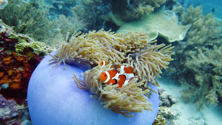 Photo pour Clown Anemonefish and anemone on coral reef. Underwater world with corals and tropical fishes - image libre de droit