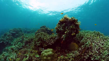 Photo pour Tropical fishes and coral reef underwater. Hard and soft corals, underwater landscape. Panglao, Bohol, Philippines. - image libre de droit