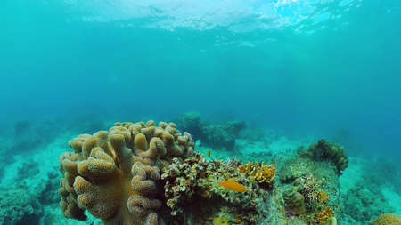 Photo pour Beautiful underwater landscape with tropical fishes and corals. Life coral reef. Panglao, Bohol, Philippines. - image libre de droit