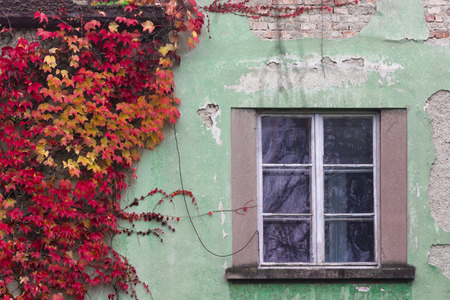 Autumn red ivy on a green wall near a window: Royalty-free