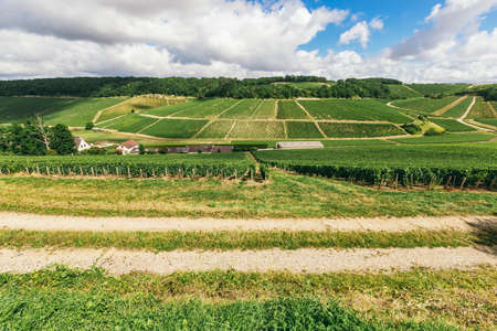 Many grape grow in a field in neat rows, grapes are tied, winemaking in France